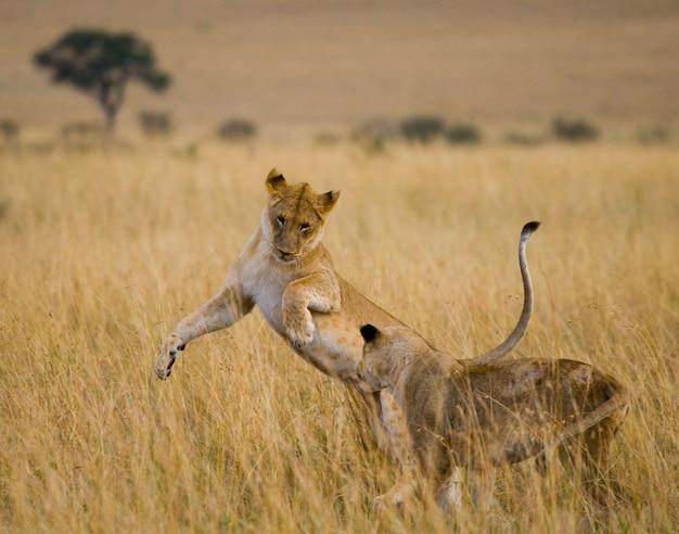 Две львицы играют друг с другом. национальный парк. кения. танзания. масаи мара. серенгети.