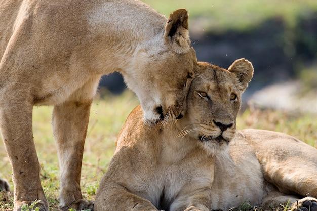Две львицы играют друг с другом