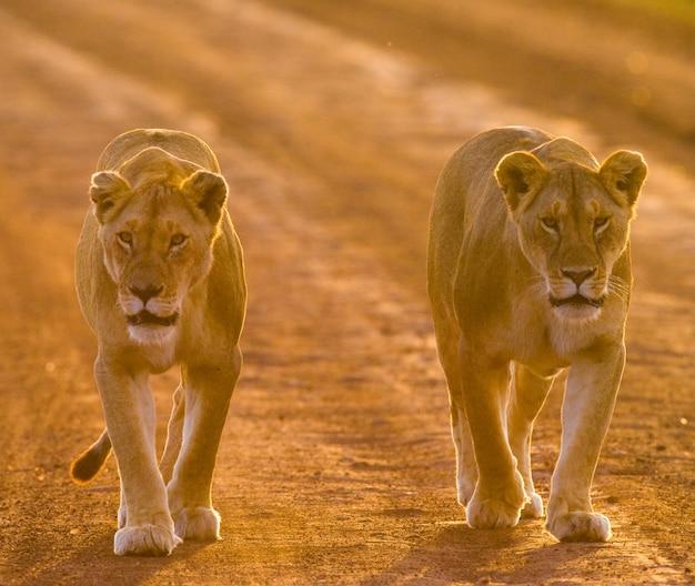 Две львицы идут по дороге в национальном парке. кения. танзания. масаи мара. серенгети. Premium Фотографии