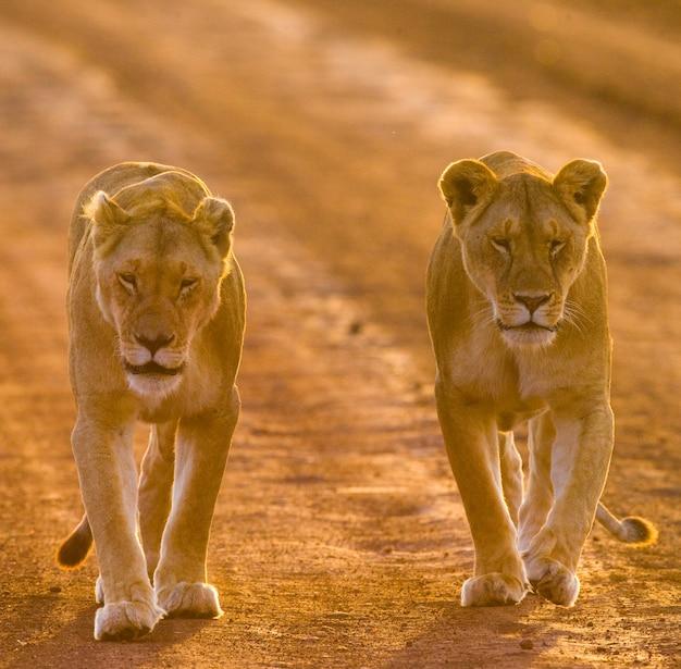 Две львицы идут по дороге в национальном парке. кения. танзания. масаи мара. серенгети.