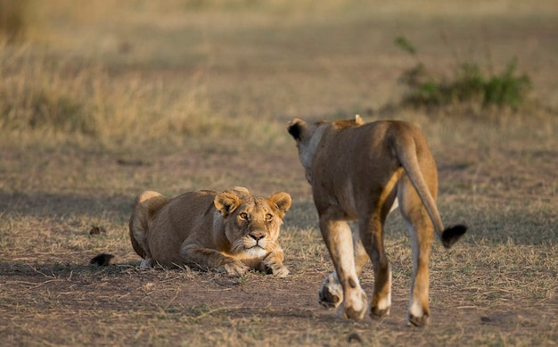 Две львицы в саванне. национальный парк. кения. танзания. масаи мара. серенгети.