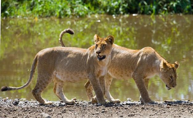 Две львицы в саванне