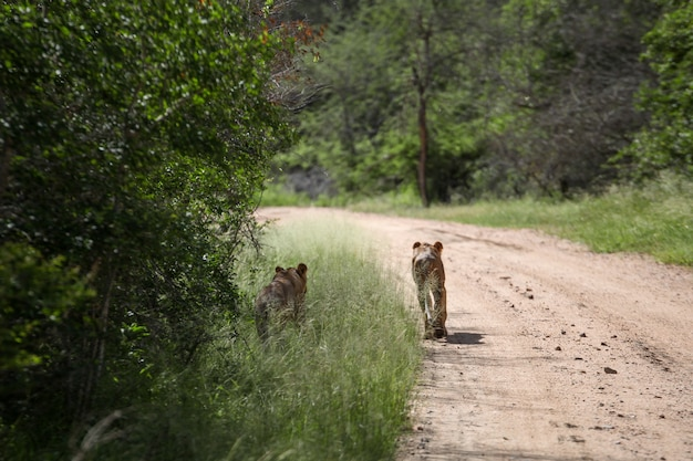Two lionesses standing on the road