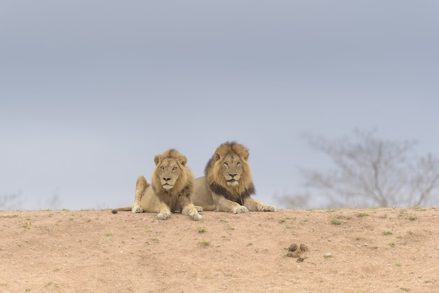 Two lions laying on the top of the hill while looking around