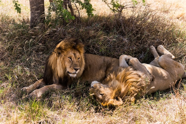 横たわっている2頭のライオン、セレンゲティ、タンザニア、アフリカ