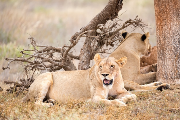 2頭のライオンが木陰で休む