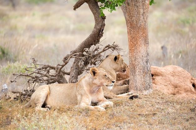 2頭のライオンが木陰で休む Premium写真