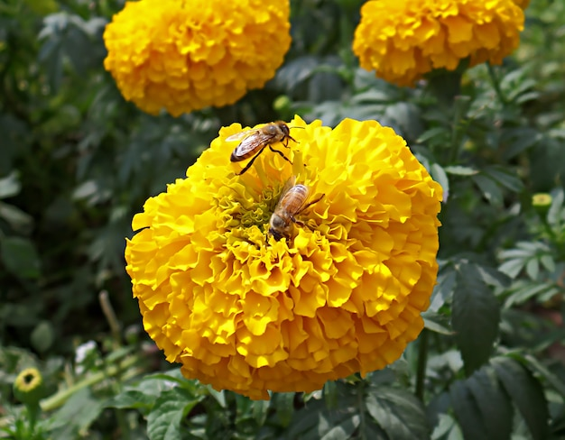 Two little bees collecting nectar on a vibrant yellow blooming marigold flower