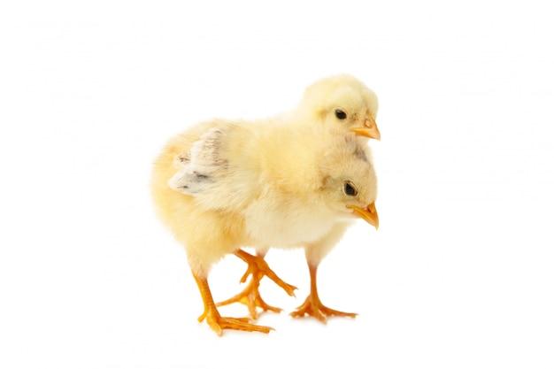 2 маленьких цыпленока перед белой предпосылкой.