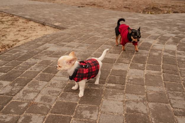 두 개의 작은 치와와 개. 귀여운 국내 애완 동물 야외. 옷에 치와와 개.