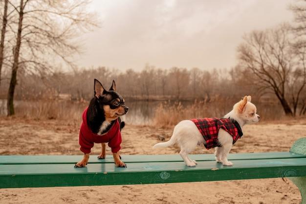 벤치에 두 개의 작은 치와와 강아지. 귀여운 국내 애완 동물 야외. 옷에 벤치에 치와와 강아지입니다.