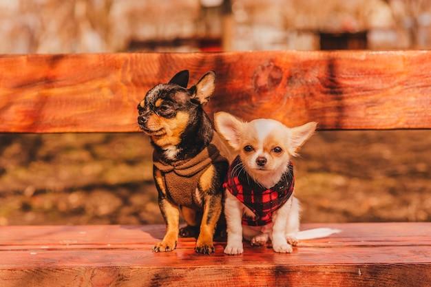 벤치에 두 개의 작은 치와와 강아지. 귀여운 국내 애완 동물 야외. 옷에 벤치에 두 치와와 강아지.