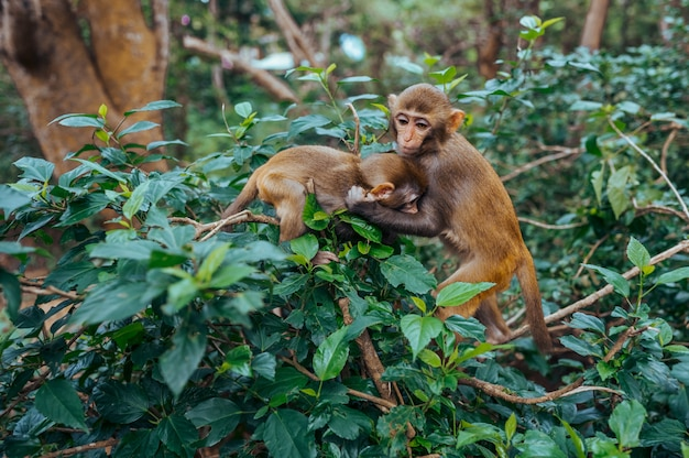 Two little cute playful red face monkeys rhesus macaque playing on tree in tropical nature park of hainan, china.  cheeky monkey in the forest area. wildlife scene with danger animal. macaca mulatta.