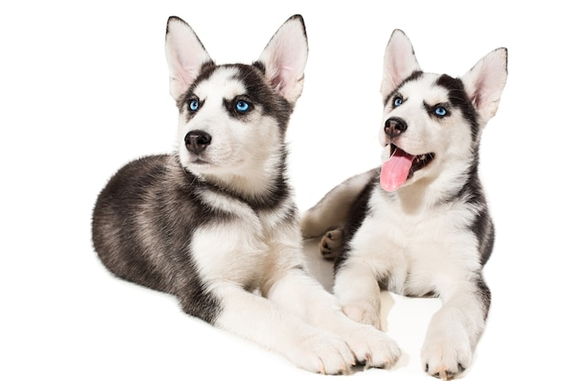 Два маленьких милых щенка сибирской хаски с голубыми изолированными глазами. красивые щенки