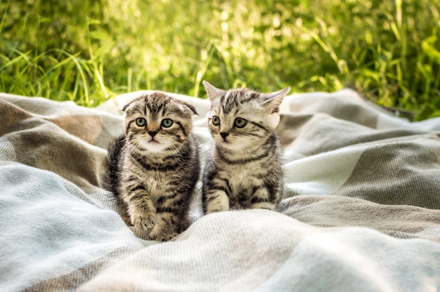 Two little gray kitten on a plaid in a park on green grass.