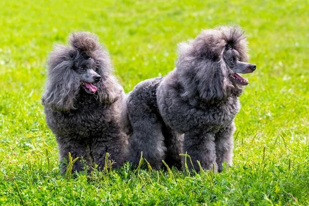 緑の芝生の公園にある2つの小さな灰色のプードル、犬は何かを見ています。面白くて面白い犬