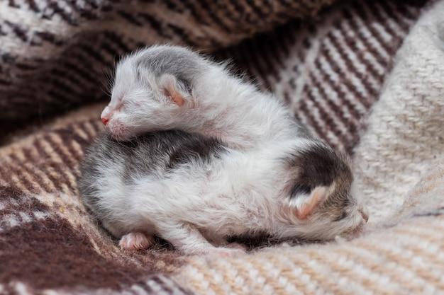 格子縞の、生まれたばかりの盲目の子猫の上の2匹の小さな子猫