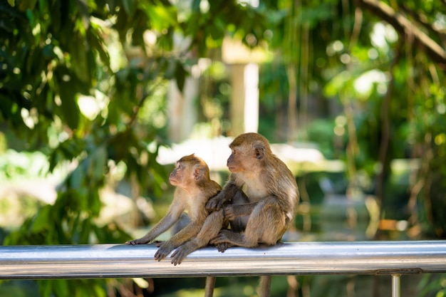 Two little monkeys catch fleas while sitting on a fence
