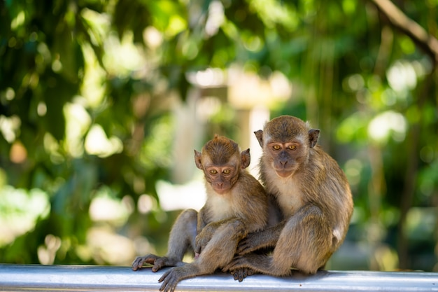Two little monkeys hug while sitting on a fence