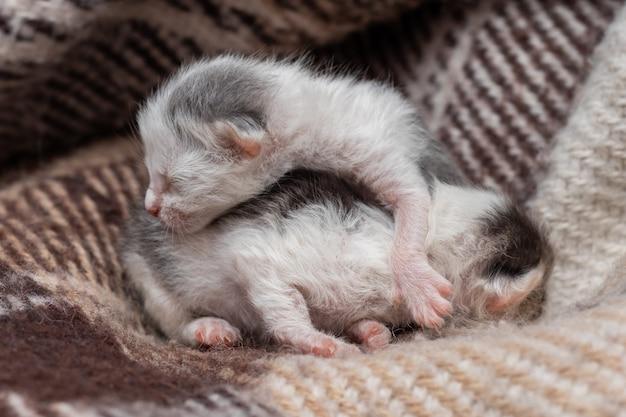 格子縞の2匹の小さな新生子猫