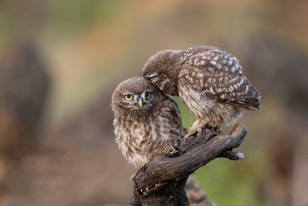 Two little owl athene noctua sitting on a stick.