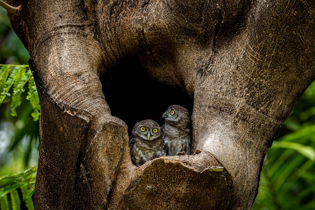 Two little owls inside the hole of a tree in a forest