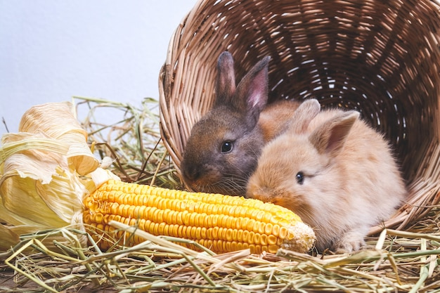 Two little rabbits hid in a wooden basket, eating corn like a gusto.