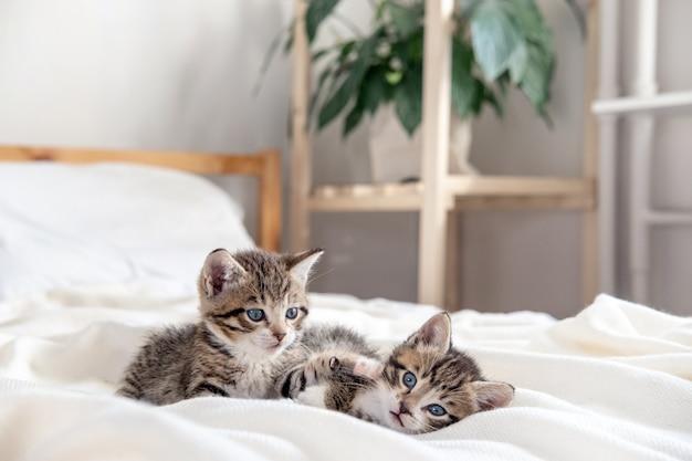 自宅のベッドで一緒に遊んでいる2匹の小さな縞模様の遊び心のある子猫。カメラをのぞき込む。元気