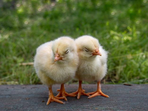 自然の背景に2つの小さな黄色の鶏。