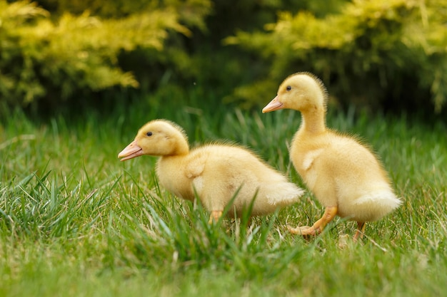 Two little yellow duckling on green grass.
