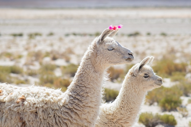 Two llamas on the andean highland in bolivia