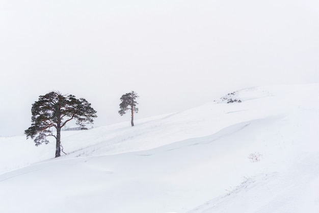 하얀 하늘을 배경으로 눈 덮인 슬로프에 두 개의 외로운 소나무