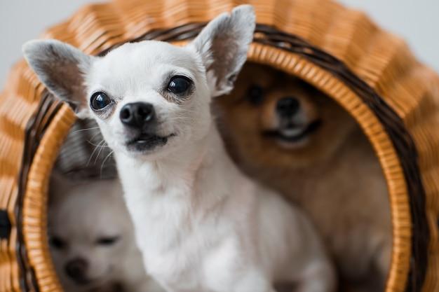 Два милых и милых щенка чихуахуа и пушистый поморский щенок сидят в плетеной будке и выглядывают из нее со смешными эмоциональными лицами