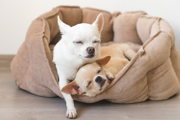 거짓말, 개 침대에서 편안한 두 사랑스럽고 귀엽고 아름다운 국내 품종 포유 동물 치와와 강아지 친구. 애완 동물은 함께 자고 휴식을 취합니다. 한심하고 감정적 인 초상화. 아버지는 liitle 딸을 안 아