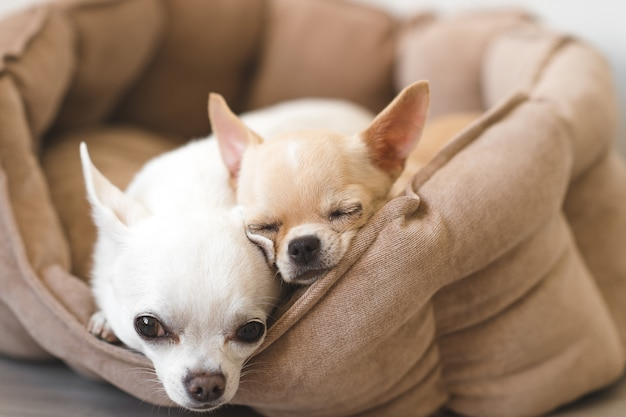 Two lovely, cute and beautiful domestic chihuahua puppies friends lying, relaxing in dog bed