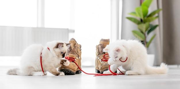 明るい部屋の床に座って、ブーツの赤いレースで遊んでいる2匹の素敵なふわふわの白いラグドールの子猫。靴と屋外で美しい純血種の猫の猫の子猫