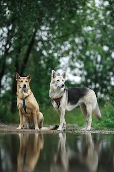 静かな池の海岸に目をそらして立っている2匹の忠実なオオカミ犬