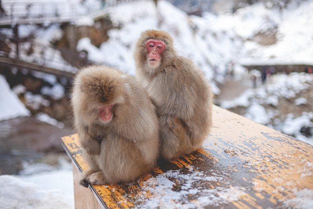 Two macaque monkey sitting near each other