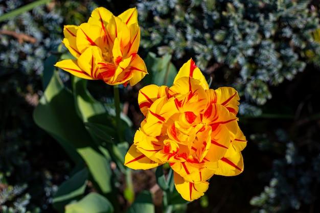 庭にある2つの壮大な黄色と赤の牡丹の花