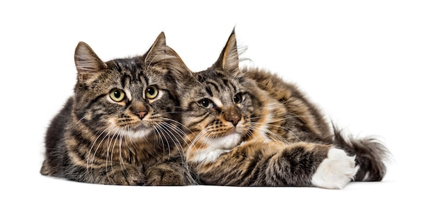 Two maine coon cat resting together