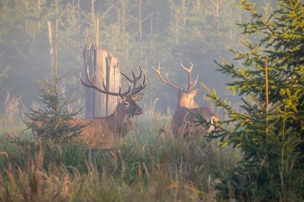 2 величественных оленя оленей стоя в тумане в утре.