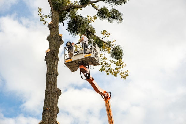 Two male service workers cutting down big tree branches with chainsaw from high chair lift platform.