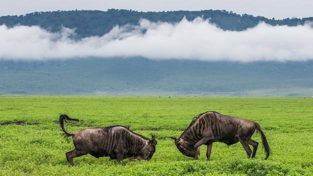 Два самца гну дерутся друг с другом в кратере нгоронгоро. африка. танзания. национальный парк нгоронгоро.