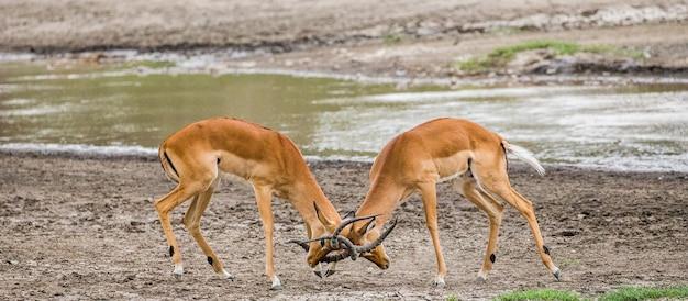 インパラアンテロープの2人の男性が互いに戦います。アフリカ。タンザニア。セレンゲティ国立公園。