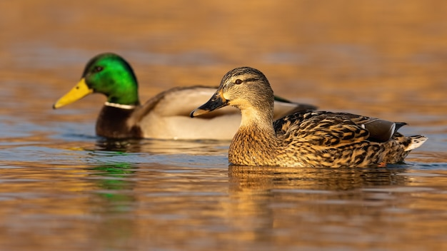Two mallard, anas platyrhynchos, swimming in water in autumn nature.