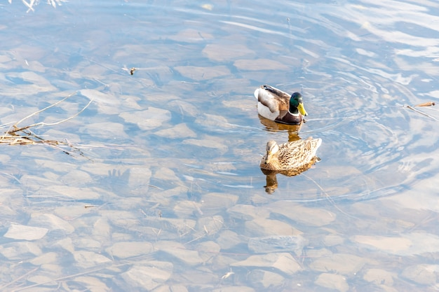 Две кряквы плавают в реке.