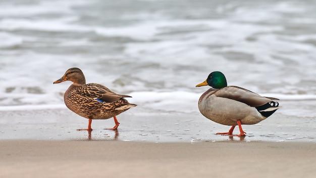 Две водоплавающие птицы кряквы гуляют возле балтийского моря