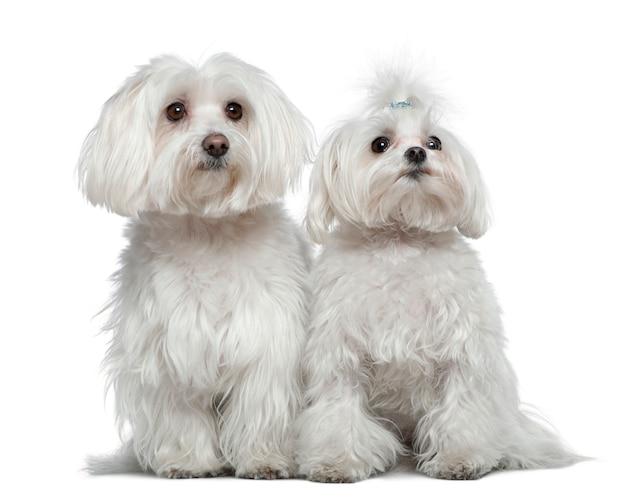 Две мальтийские собаки, 6 с половиной лет и 2 с половиной года, сидя перед белой стеной