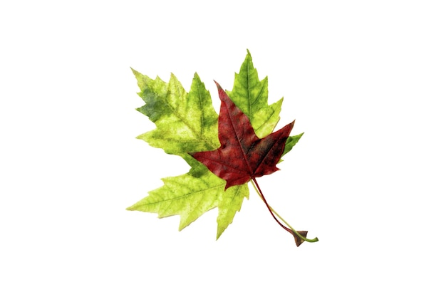 Two maple leaves red and green isolated on white background. back to shool