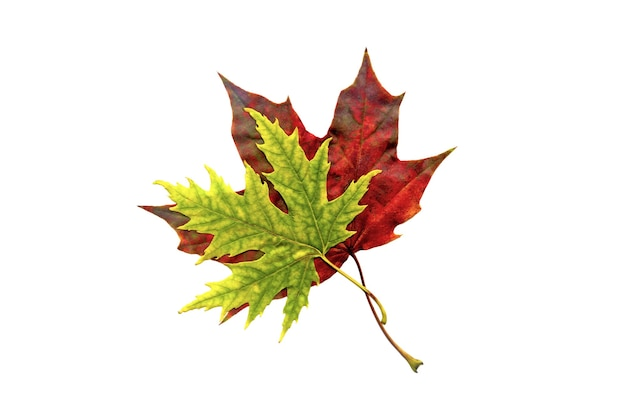 Two maple leaves red and green isolated on white background